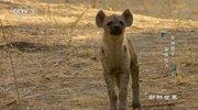 《动物世界》 20210725 非洲猎手·家族传人(下)