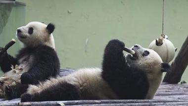 世界自然保护联盟:大熊猫降级至易危