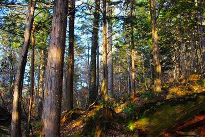 吉林发现红豆杉古树群 最大树龄已超3000年 - 双梅 - 张静华