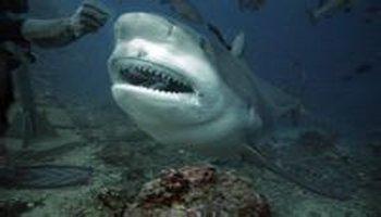 基本介绍 中文学名:牛鲨    英文名:bullshark &