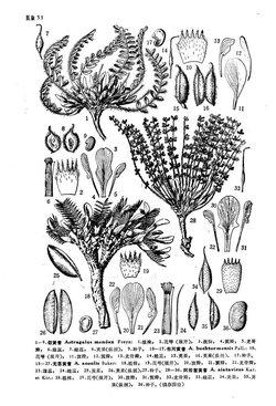 白木兰花素描图片