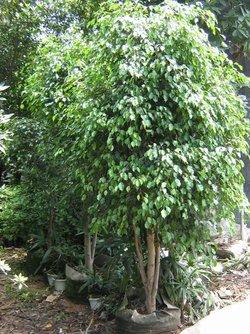 榕树品种图片大全