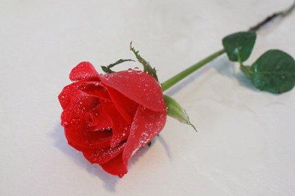 花业单支玫瑰花