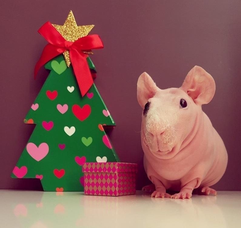波兰无毛豚鼠圣诞写真 大眼呆萌惹人爱