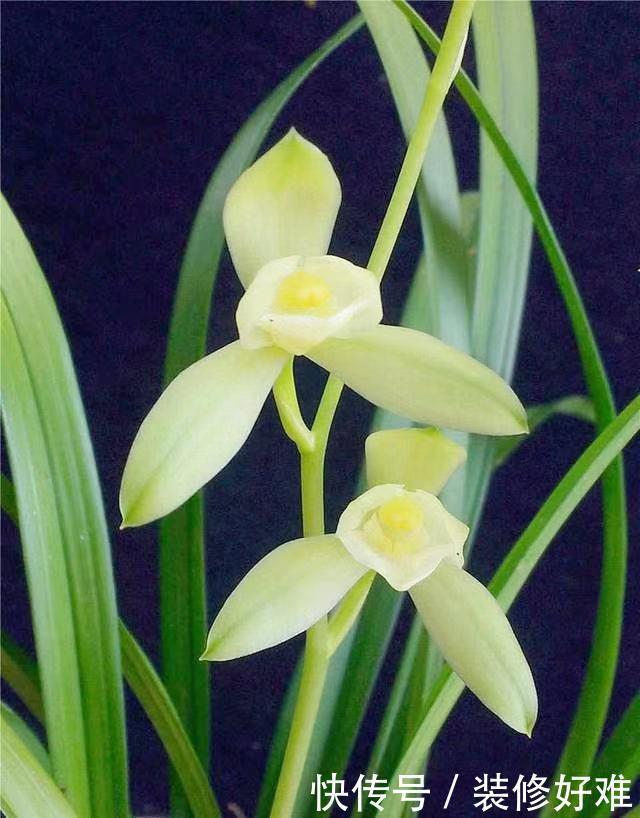 此花是兰花中最有名气的品种,花朵素雅,花型硕大,是素花之典范