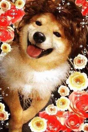 柴犬才是汪界表情包的鼻祖,哈士奇也得服!