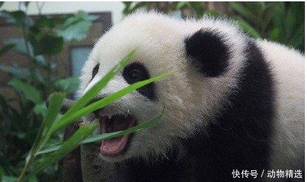 熊猫要抱抱惨遭拒绝,委屈的像个200斤的胖子,网友放着