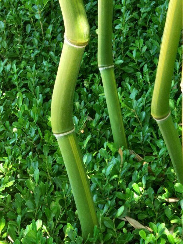 请教各位朋友,这是什么竹子?为什么有的竹竿是