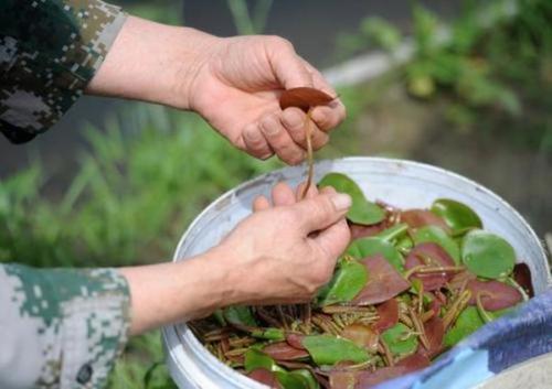 """蔬菜界的""""锌王"""",生长环境严苛,如今有人种植,4月将上市莼菜生长"""