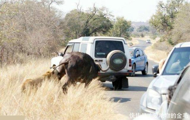 摄影师记录下的母狮与水牛在公路上的激战,原来母狮这样凶猛!
