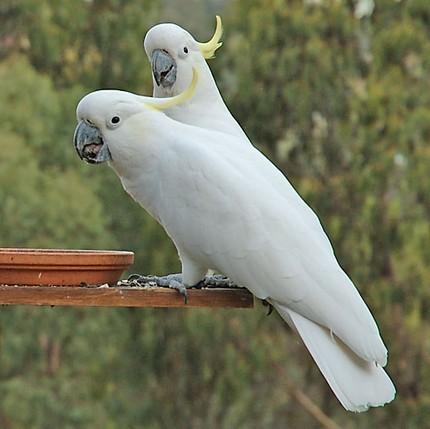蓝眼凤头鹦鹉