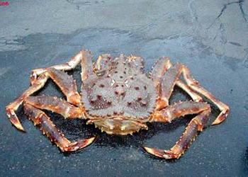 蜘蛛蟹跟帝王蟹的区别_360v蜘蛛mpa视频图片