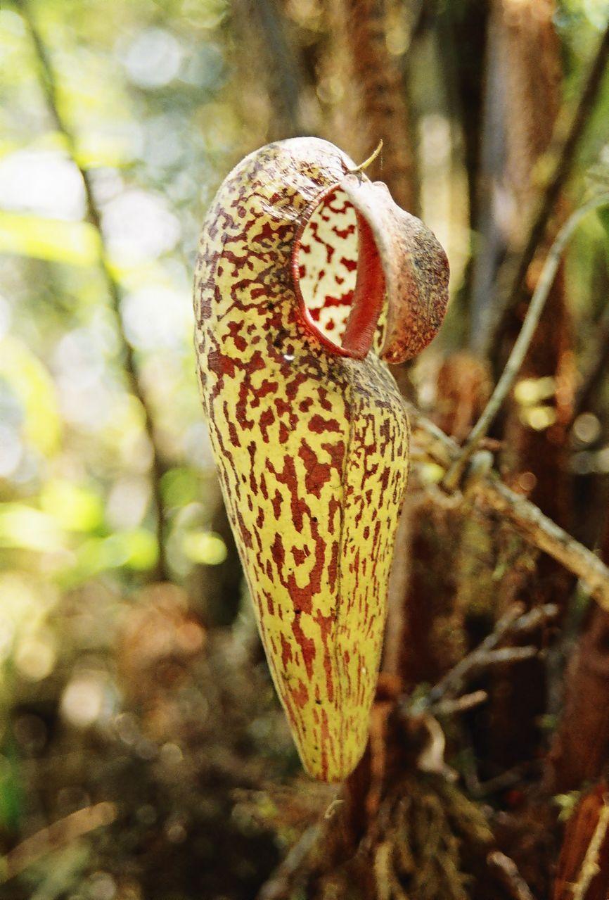 除此之外,另一个副本存放于爪哇的茂物植物园(thebogorbotanical