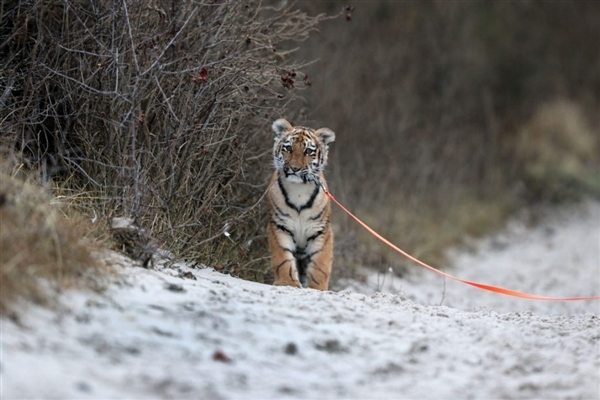 德国小老虎被人类养大 活成了一只宠物狗 - 东篱散人 - 东篱散人1818的博客