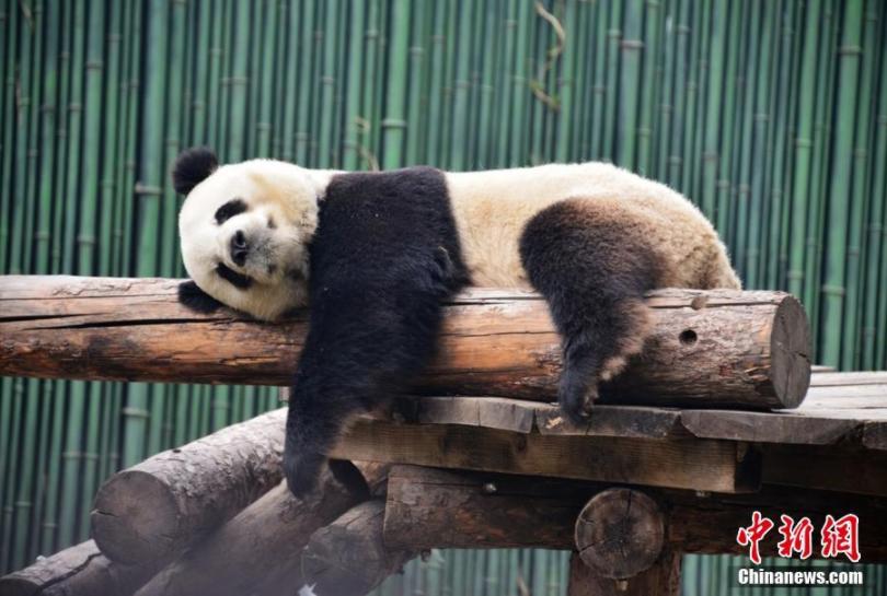 """大熊猫变""""趴趴熊"""" 吃睡""""醉卧""""花丛中"""
