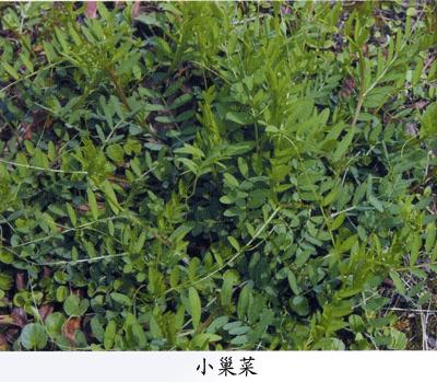 硬毛果野豌豆