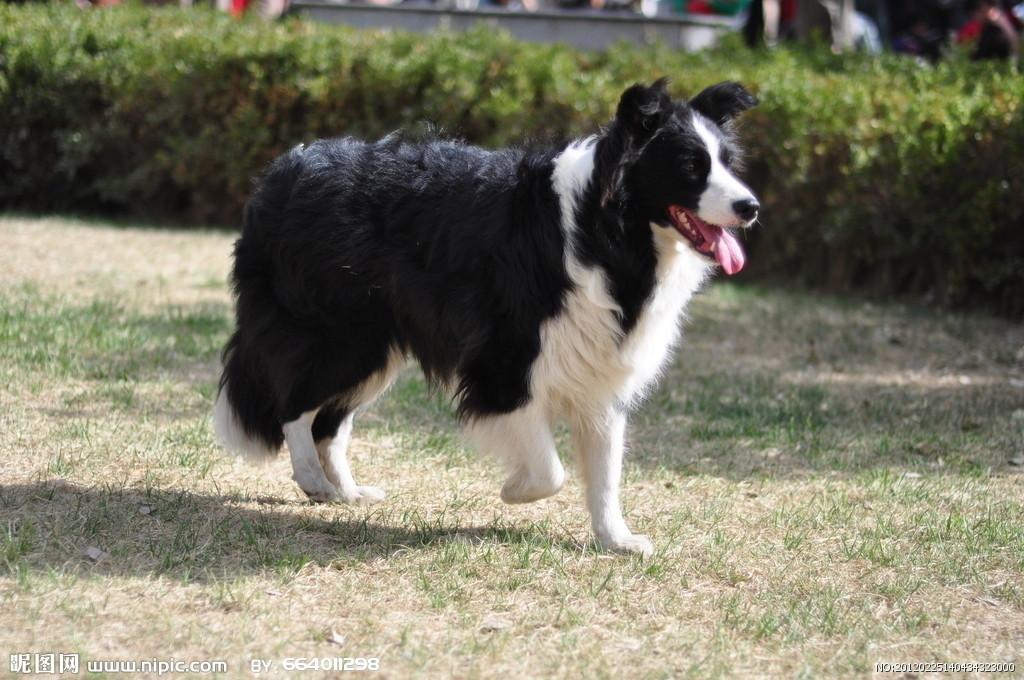 大型匈牙利牧羊犬