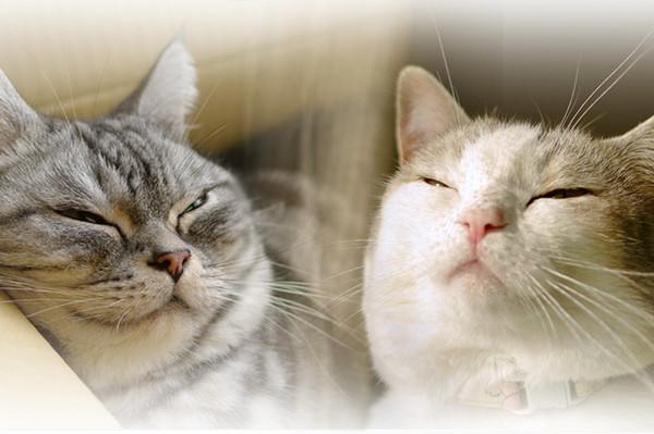 """午后猫咪兄妹演绎""""浪漫偶像剧"""""""