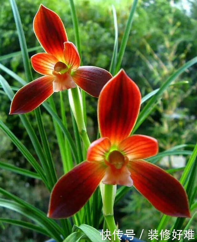 """<b>绿萝快别养了,此花是""""红色兰花"""",好养易活,花型大,极其美丽</b>"""