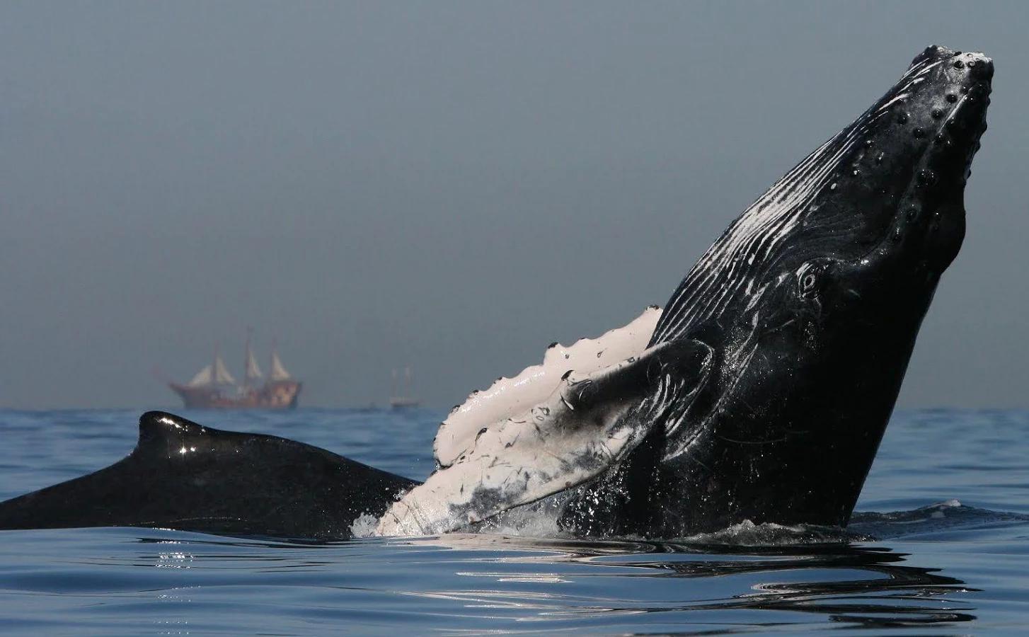 壁纸 动物 海洋动物 鲸鱼 桌面 1454_900