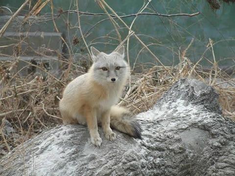 动物,一般以一对成年狐和幼仔(2-5仔)为单位组成种群