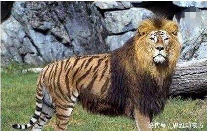 世界最完美的猫科动物,狮子与老虎的杂交,体型竟是狮子老虎两倍