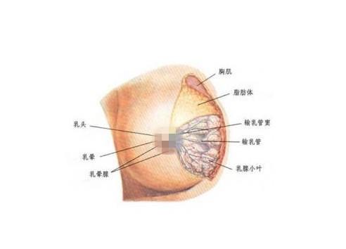 乳房的结构,究竟是怎么样的?_财生网