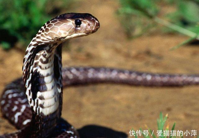 眼镜王蛇居然也有天敌,这些自身开挂的动物,原来这么弱