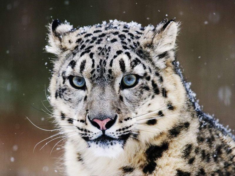 分类学家仍把雪豹和其他几个大型猫科动物归入豹类