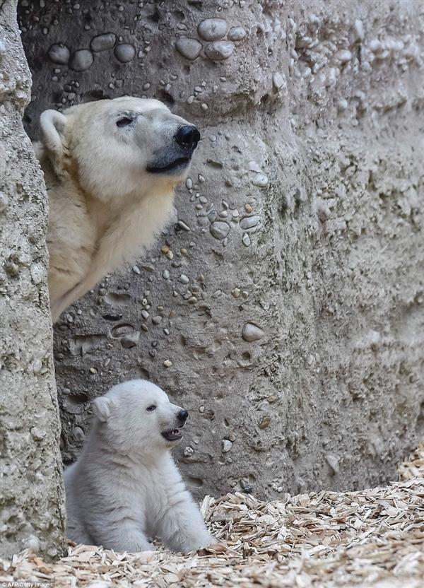 14周大北极熊镜头感十足 对着镜头闭单只眼(转) - 烟雨蒙蒙 - 烟雨蒙蒙的博客
