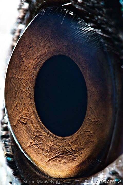蜜蜂的眼睛没有瞳孔,虹膜和玻璃体,但眼底上与人眼一样有视网膜,而