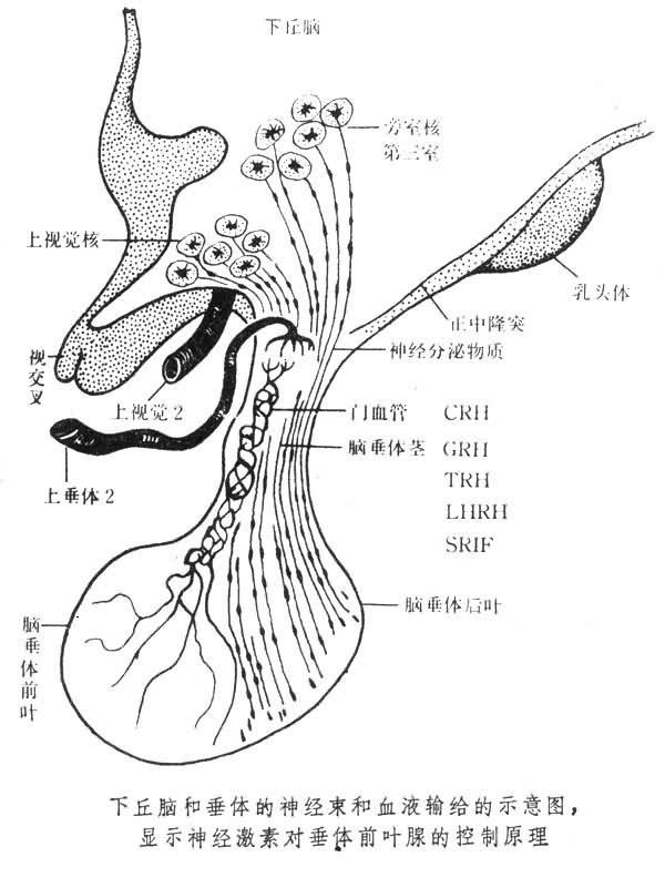 脑下垂体结构图