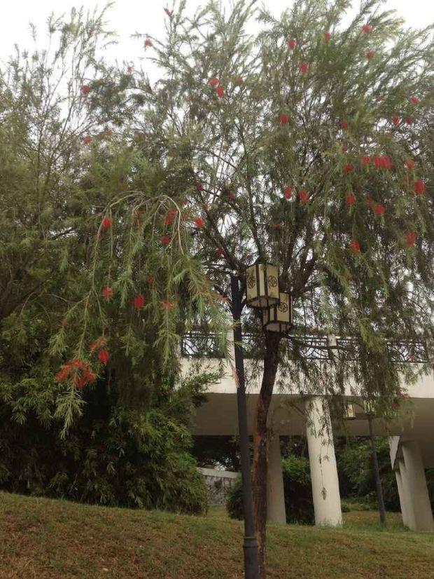 树上带着点红色的花,树长得像柳树