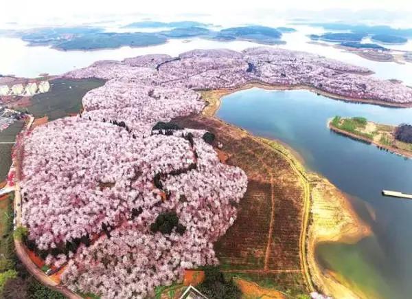 比十里桃林还美的贵安万亩樱花园,美翻了,不约不行啊! -  - 真光 的博客