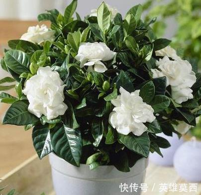"""栀子花""""只长叶""""不开花先放对位置,再浇1种水,花苞冒出来"""