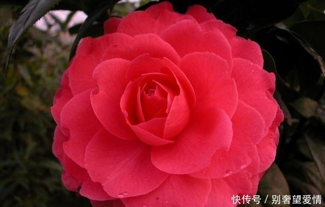 """最""""浪漫""""的茶花,花色亮眼,花型比脸还大,开花后比玫瑰还美"""