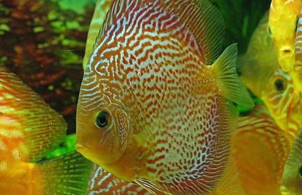 野生七彩神仙鱼 种类