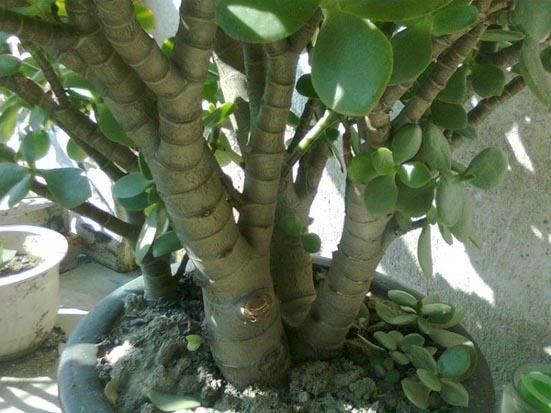 外形象杨树,有树干,有树枝,长的叶子却象小仙人掌片,请问何树