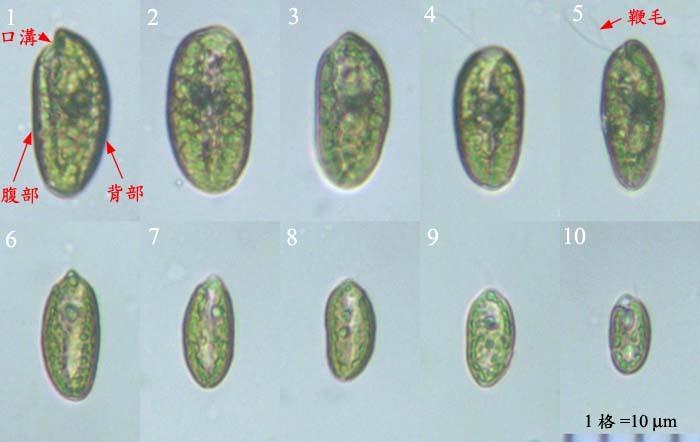 形态特征 藻体呈卵圆形,前端有一个明显凹陷的口沟和两条等长的鞭毛