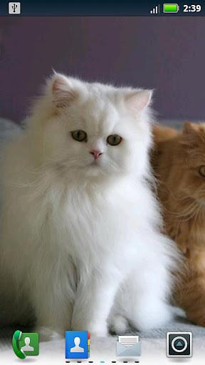 主题 作者:来自互联网 这个可爱的动态壁纸,把您的手机的波斯猫!