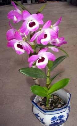 春石斛又名美花石斛,因春天开花而得名