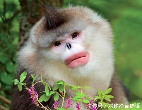 我国极为罕见的猴子,嘴唇像涂了口红的少女,曾被认为已经灭绝
