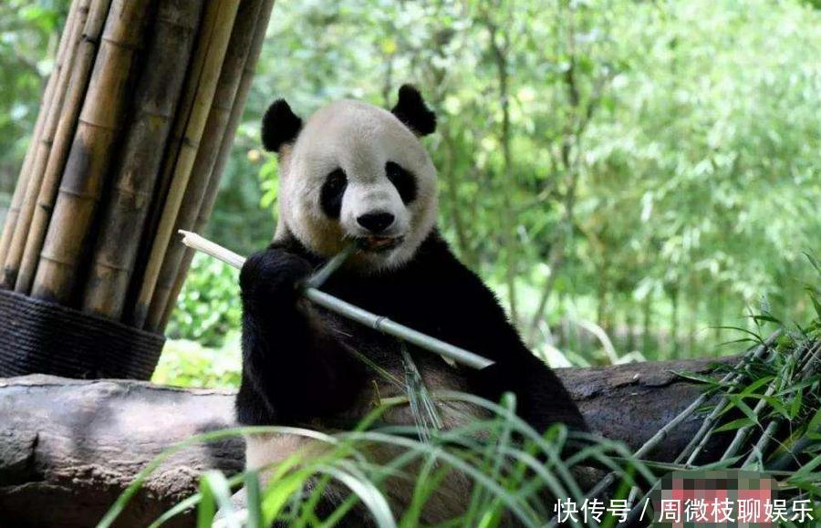 """国宝大熊猫这张""""叉腰照""""火了,看看网友的配文,熊猫都被玩坏了!"""