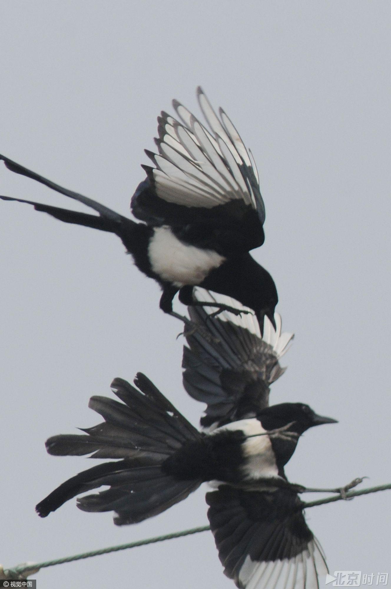 """动物趣闻:喜鹊的求偶""""战争"""" -  - 真光 的博客"""