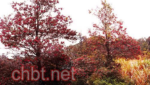 红花荷,又名红苞木(rhodoleiachampioniihook.f.),属金缕科.