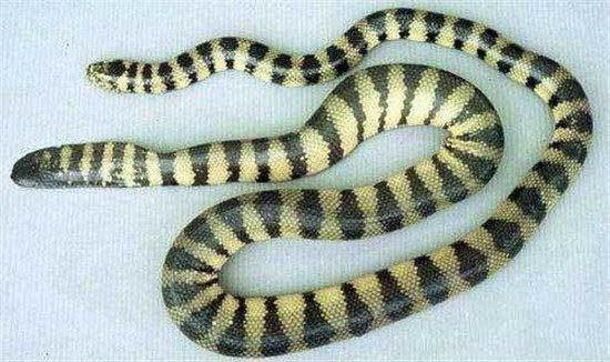 在我国海域里最毒的蛇那么一定是青环海蛇,在我国沿海的许多地区,都有着它的存在。虽然说这种海蛇通常以鱼为主要食物,但是它们具有集群性,常常有成千上百条在水上漂浮。这种海蛇的毒性也是非常的厉害,一旦被青环海蛇所有,如果你没有立刻把毒排出体内,立刻注射血清的话,你很有可能被神经毒素和肌肉毒素影响失去性命。 3、长吻海蛇