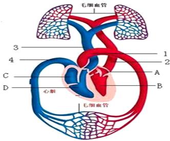 如图所示是人的血液循环系统某个部分的结构示意图,据图分析.