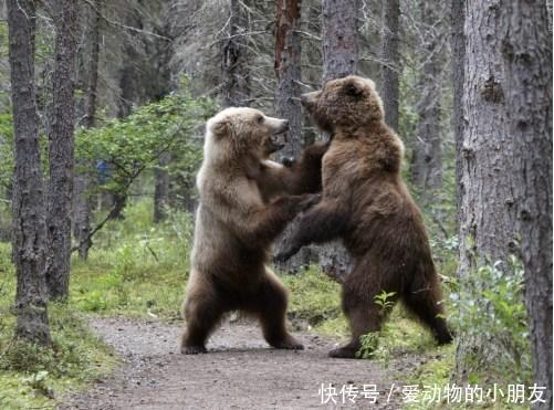 为了争夺同一个食物,这两只浣熊呼巴掌、锁喉一样都落不下
