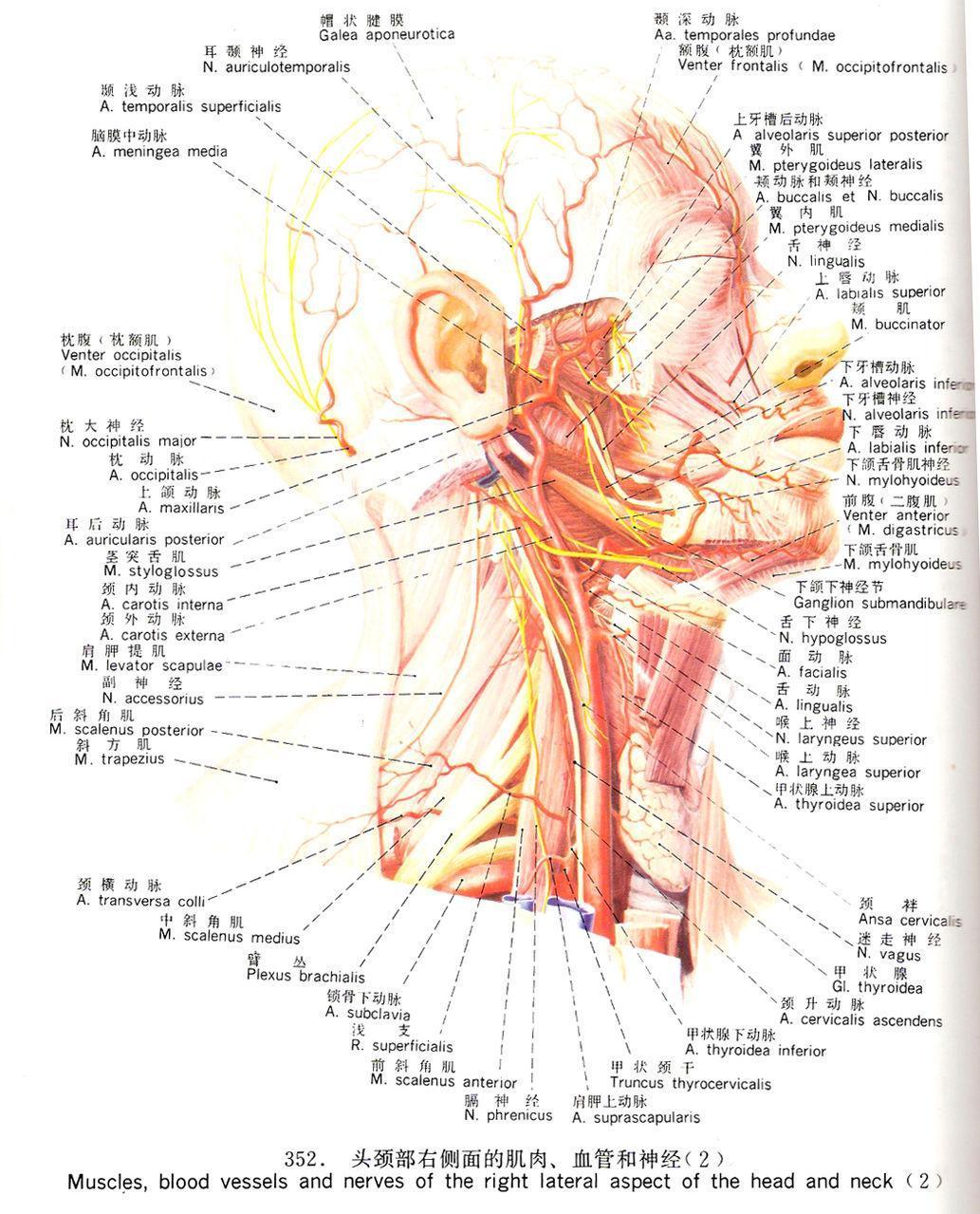面神经由支配面部表现肌的运动纤维和中间神经两