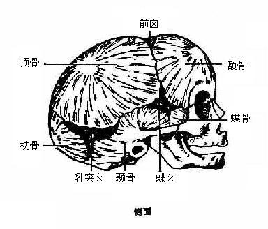 脑颅结构示意图